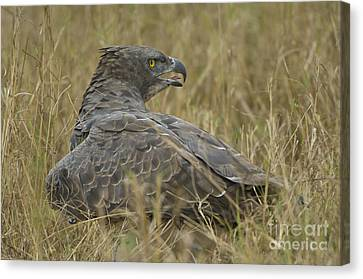 Martial Eagle Mantling Prey Canvas Print