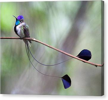 Marvelous Spatuletail Canvas Print by Max Waugh