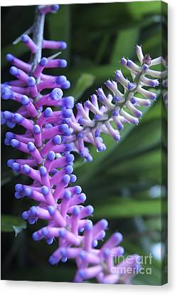 Matchsticks Bromeliad Aechmea Sp Canvas Print