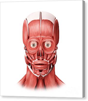 Medical Illustration Of Male Facial Canvas Print by Stocktrek Images