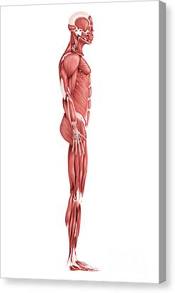Medical Illustration Of Male Muscular Canvas Print by Stocktrek Images