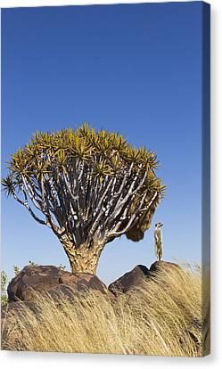 Meerkat In Quiver Tree Grassland Canvas Print