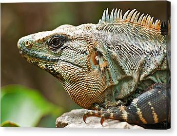 Mexican Iguana Canvas Print by Paul Pascal