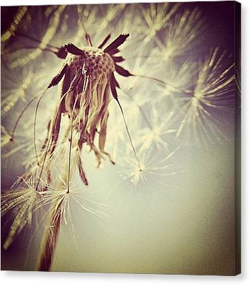 Instahub Canvas Print - #mgmarts #dandelion #makeawish #wish by Marianna Mills
