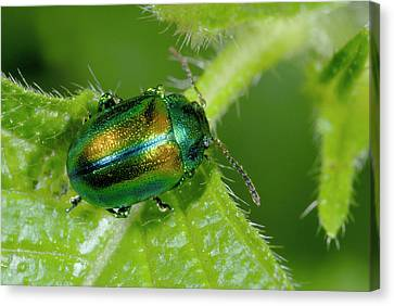 Mint Beetle Canvas Print