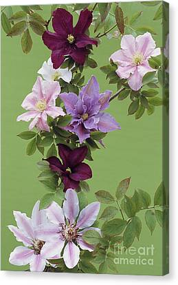 Mixed Clematis Flowers Canvas Print by Archie Young