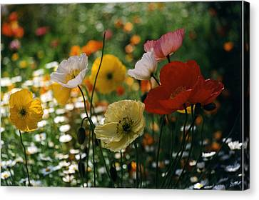 Canvas Print featuring the photograph Mixed Color Poppies by Robert Lozen