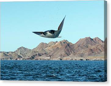 Devil Ray Canvas Print - Mobuyla Ray Leaping by Christopher Swann