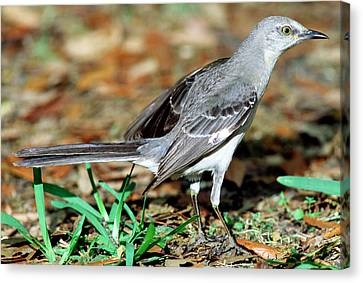 Mockingbird Canvas Print - Mockingbird by Millard H. Sharp