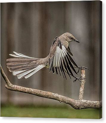 Mockingbird  Canvas Print by Rick Barnard