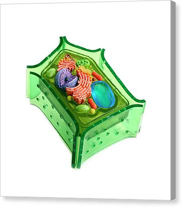 Model Of A Plant Cell Canvas Print by Science Photo Library