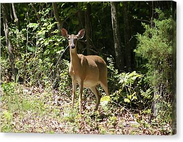 Momma Deer Canvas Print by Rick Friedle