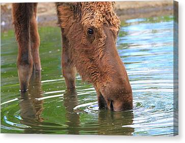 Moose In Water Canvas Print by Dan Sproul