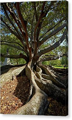 Moreton Fig Tree (ficus Macrophylla Canvas Print by David Wall