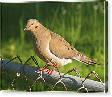 Morning Dove I Canvas Print by Debbie Portwood