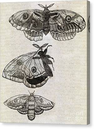 Moths, 17th Century Artwork Canvas Print by Middle Temple Library