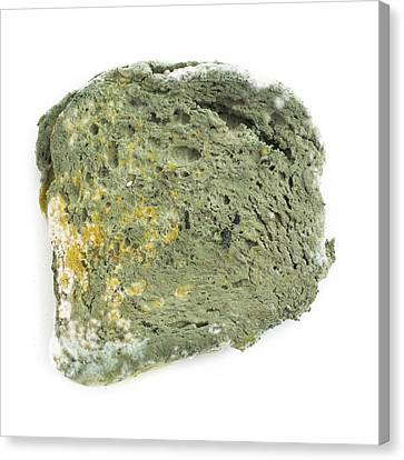 Mould On Bread Canvas Print by Science Photo Library