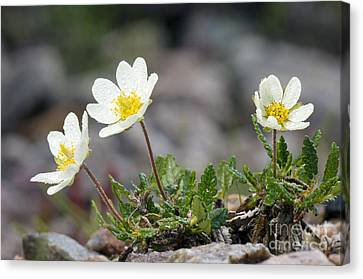 Avens Canvas Print - Mountain Avens Dryas Octopetala by Duncan Shaw