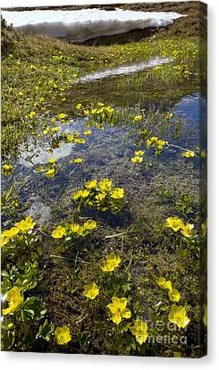Snow Melt Canvas Print - Mountain Buttercup Ranunculus Insignis by Bob Gibbons