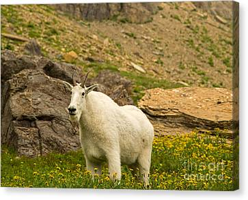 Mountain Goat In Glacier National Park Canvas Print by Natural Focal Point Photography