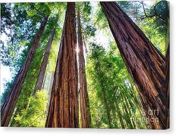 Muir Woods Redwood Trees 8 Canvas Print by Mel Ashar