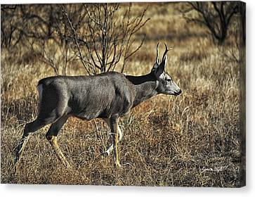 Canvas Print featuring the photograph Mule Deer Buck by Karen Slagle