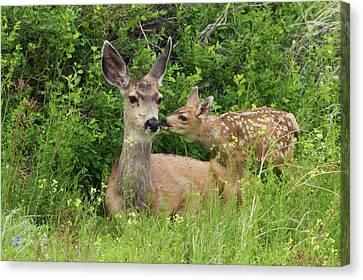 Mule Deer Canvas Print - Mule Deer Doe With Fawn by Ken Archer