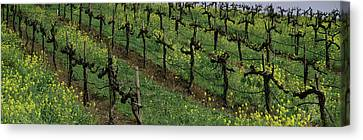 Mustard And Vine Crop In The Vineyard Canvas Print by Panoramic Images