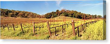 Mustard Flowers In A Field, Napa Canvas Print by Panoramic Images