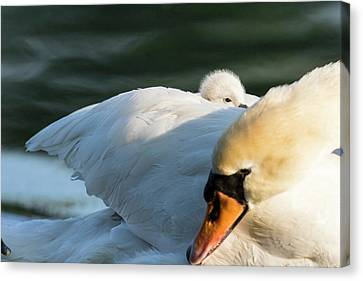Mute Swan (cygnus Olor Canvas Print by Martin Zwick