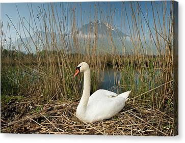 Mute Swan Canvas Print by Duncan Shaw