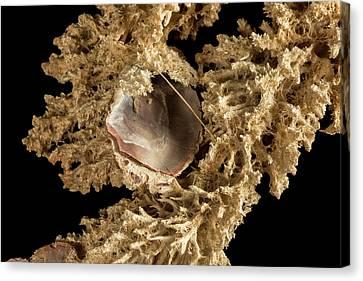 Invertebrate Canvas Print - Mycale Parishi by Natural History Museum, London