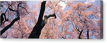 Cherry Tree Canvas Print - Nagano Japan by Panoramic Images
