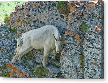 Nanny Mountain Goat And Kid, Oreamnos Canvas Print by Howie Garber