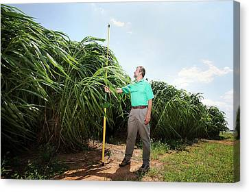 Napier Grass Biofuel Research Canvas Print by Peggy Greb/us Department Of Agriculture