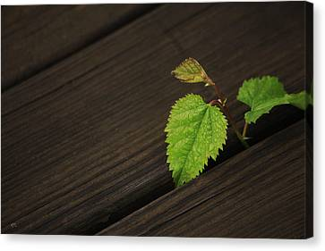 Nature Finds A Way Canvas Print by Karol Livote