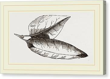 Nest Of Lilac-leaf-roller Canvas Print by Litz Collection