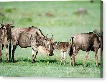 Gnu Canvas Print - Newborn Wildebeest Calf by Panoramic Images