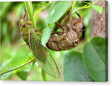 Newly Emerged Green Grocer Cicada Canvas Print