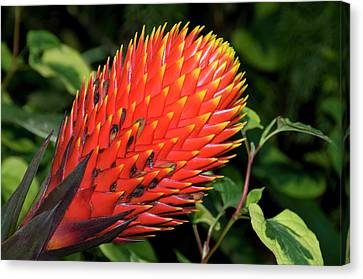 Bromeliad Canvas Print - Nidularium 'fireball' by Nigel Downer