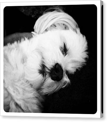 Sleeping Maltese Canvas Print - Nighty Night by Natasha Marco