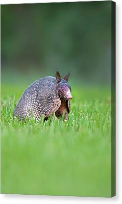 Nine-banded Armadillo (dasypus Canvas Print by Larry Ditto