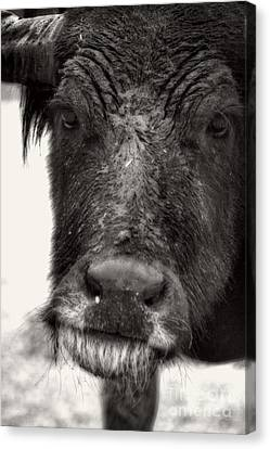 No Bull Canvas Print by Doc Braham