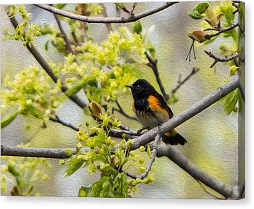 American Redstarts Canvas Print - American Redstart 3 Of 3 by Patti Deters