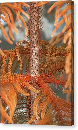 Pine Needles Canvas Print - Norfolk Island Pine (a. Heterophylla) by Dr. Nick Kurzenko