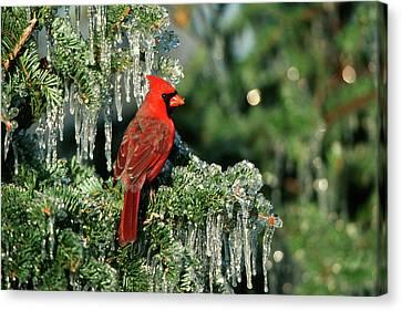 Northern Cardinal (cardinalis Cardinalis Canvas Print by Richard and Susan Day