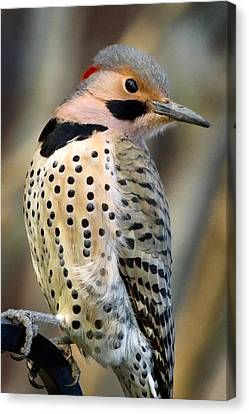 Northern Flicker Canvas Print by Bill Wakeley