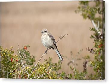 Northern Mockingbird Canvas Print by Rich Leighton