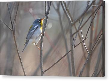 Northern Parula Canvas Print by James Petersen