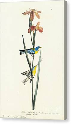 Heron Canvas Print - Northern Parula  by Celestial Images